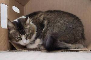 ACC491 : Kaitee - CAT for ADOPTION - Vet Work Included Heathridge Joondalup Area Preview