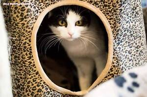 AC0477 : Tilly - CAT for ADOPTION - Vet Work Included Baldivis Rockingham Area Preview