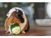 8 mth old female guinea pig and old hutch need loving home