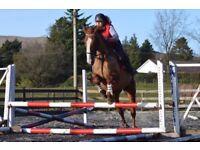 16.2hh. Irish Sports Horse Mare. 11yo