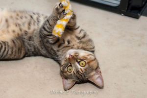 AK3016 : Tyche - CAT for ADOPTION - Vet Work Included