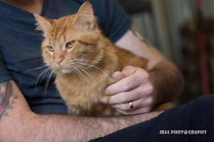 AC0500 : Jake - CAT FOR ADOPTION - Vet Work Included Beldon Joondalup Area Preview