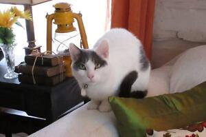 Lost cat. Chat perdu - Ste-Justine de Newton/Ste-Marthe