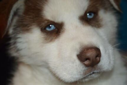 STUNNING HUSKY PUPPY - Blue eyes Berowra Hornsby Area Preview