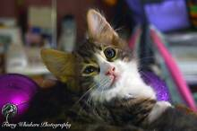 AK1080: Rudy - KITTEN for ADOPTION - Vet work included Helena Valley Mundaring Area Preview