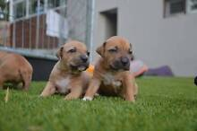 4 American Staffy Puppies Elanora Gold Coast South Preview