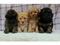 Beautiful cavapoo puppies p r a clear