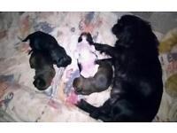Pekingese x shih tzu puppies