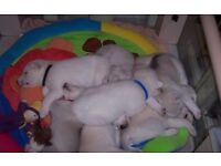 8 - Siberian Husky Puppies for sale
