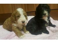 Cockerpoo puppy's