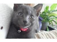 Beautiful Female Blue Grey Kitten