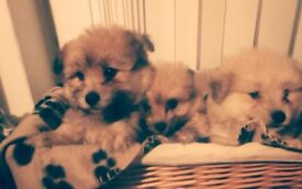 1 Pomeranian puppy for sale