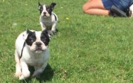 2 French bulldog males for sale