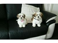 2 shih tzu puppies for sale, 1 boy 1 girl