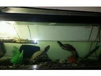 Yellow belly slider turtles