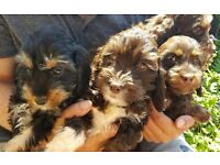 GORGEOUS CHOCOLATE AND BLACK COCKAPOO PUPPIES READY NOW PRA CLEAR