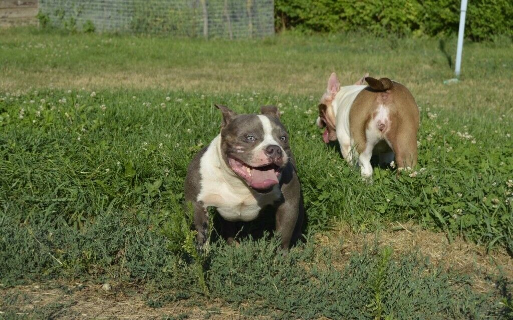 STUNNING ABKC REGISTERED POCKET AMERICAN BULLY PUPPIES (WITH TOP  BLOODLINES) STILL AVAILABLE | in Romford, London | Gumtree