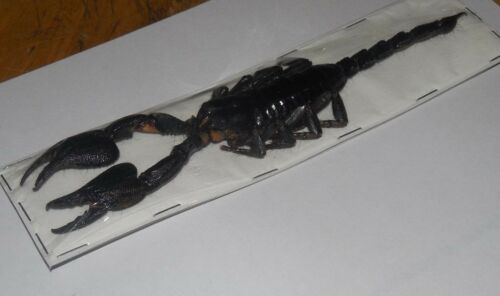 """LARGE 6"""" HETEROMETRUS CYANEUS GIANT FOREST SCORPION REAL INSECT TAXIDERMY"""