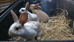 Friendly Baby Rabbits Gembrook Cardinia Area Preview