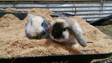 Very Cute and Friendly Baby Rabbits Gembrook Cardinia Area Preview