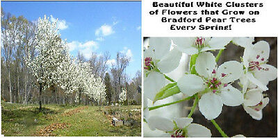 Bradford Pear White  Flowering Ornamental Tree       10   Seeds