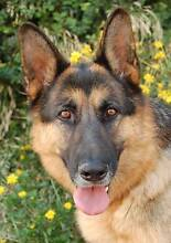 I am looking for a German Shepherd Jamisontown Penrith Area Preview