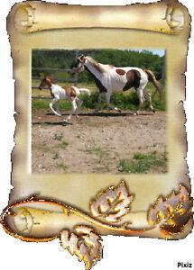 2 Magnifiques Paint Horse 1 Mâle 1 Femelle yeux bleus Saguenay Saguenay-Lac-Saint-Jean image 5