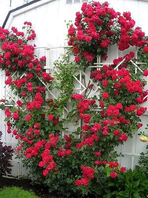 5 Red Climbing Rose Rosa Bush Vine Climber Fragrant Butterfly Flower Seeds  Gift
