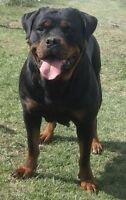 CKC Registered Rottweiler Pups Ready to go to their new homes