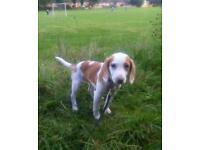 Beagle Puppy (Misty)