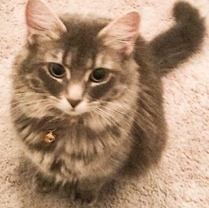 Loving Family Cat needs a new home - Son has Allergies - Free
