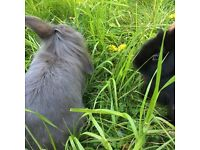 Grey Rabbit 1 and a half years old