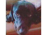 Black Labrador Male