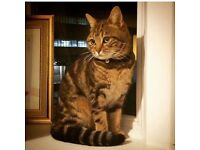 Beautiful marbled bengal needs new home