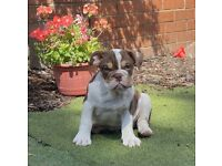 Beautiful Male English Bulldog Pups for sale