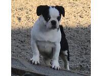 3/4 Pug 1/4 Frenchie 1 Male