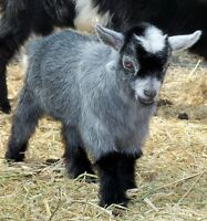 Wanted blue/ gray Pygmy doeling