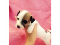 For sale jack Russell puppies