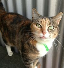 Rescued Older Cat-Free to approved home. Hunter Valley Cat Haven Maitland Maitland Area Preview
