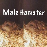 Russian Dwarf Hamster for sale