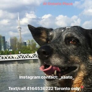 Grooming find or advertise pet animal services in toronto gta etobicoke dog walker available in toronto 4164536222 grooming solutioingenieria Choice Image