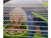 Creamy white hamster and cage