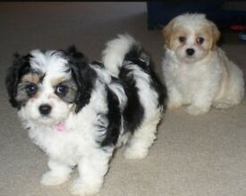 Litter of cavachon pups for sale