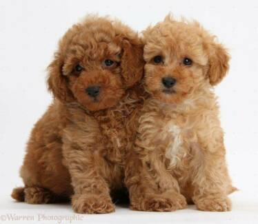 Wanted: Looking for a pure bred toy poodle