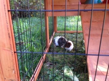 Two sweet male guinea pigs and hutch / cage Winchelsea Surf Coast Preview