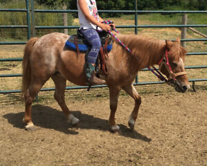 Large pony for sale as lead line or beginner pony
