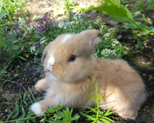 Blue eyed male holland lop baby bunny