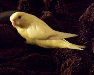 ❤**Baby Linnies Available with Cage **❤