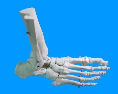 Foot Joint Anatomical Skeleton Model Human Medical Anatomy Life Size