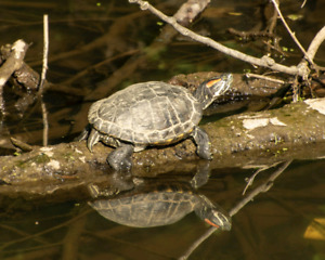 8x10 photo/art 'painted turtle'
